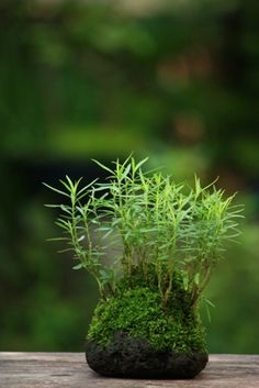 Kusamono green moss ball bonsai