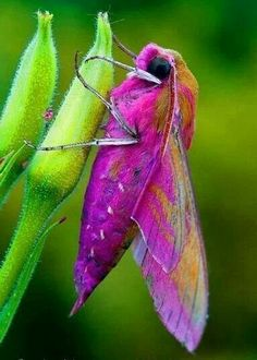 ♣Rosy Maple Moth ♥..fb