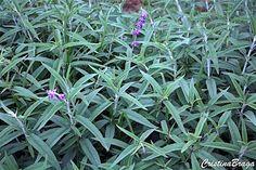 A Salvia leucantha e um subarbusto, pertence à família Lamiaceae, nativa do México e Américas tropicais, perene, ereto, com numerosos ramos longos, .........