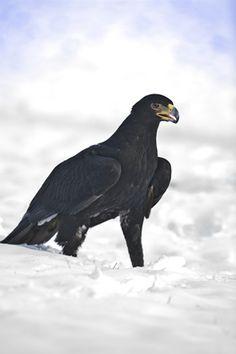 Black on white (black eagle in snow) Raptor Bird Of Prey, Birds Of Prey, Black Eagle, Storks, Big Bird, Raptors, Bird Feathers, Eagles, Mountain