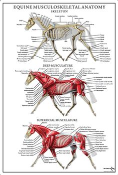 Equine musculoskeletal anatomy poster available for purchase.