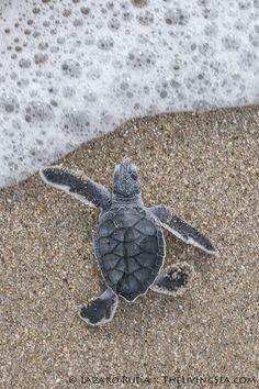 Sea turtle hatchling entering the ocean | by TheLivingSea.com