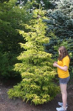 Picea orientalis Aurea:  Spectacular evergreen tree that has lovely golden-yellow colored young shoots in spring which turn green later in the year. The slightly drooping branchlets give this a lovely, pendulous appearance.