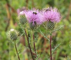 Thistle with Bees on Flowers - Shenandoah Nat'l Park - The Nature In Us Newsletter - 9/15/13