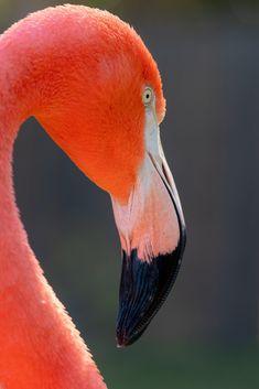 Flamingo X Found this cute flamingo photo while browsing :) Flamingo Photo, Flamingo Art, Pink Flamingos, Flamingo Flower, Most Beautiful Birds, Beautiful Nature Scenes, Flamingo Pictures, Flamingo Tattoo, Animals Images