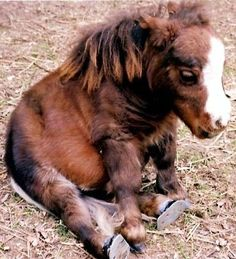 Falabella horse!. The worlds smallest horse (best looking too!). I sooo want to keep her! She's the cutest mini pony ever!❤️