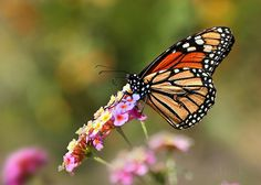https://flic.kr/p/rkqNRG | Mariposas que volaban conmigo... | Monarca