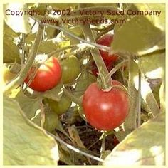 Stupice Tomato - Heirloom, Open-Pollinated, non-Hybrid Victory Seeds®