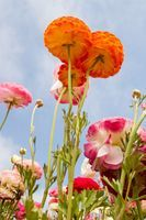 When to Plant Ranunculus thumbnail