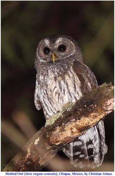 Mottled Owl (Strix virgata)