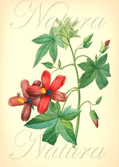 classic botanical illustration