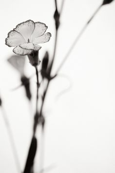 Carnations - Soft Sepia  - Photographer Jeff Stanford  Stanford-Photography