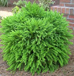 Dwarf cryptomeria, globe.  Zones 5-7, full sun to part-shade, 2-3 ft tall dome can grow to 4-8 ft tall w/age