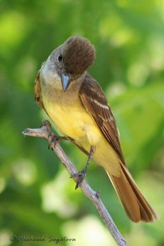 Great Crested Flycatcher | Flickr - Photo Sharing!