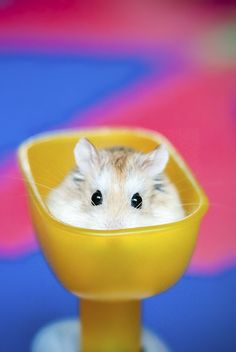 I love hamsters! Super Cute Animals, Cute Baby Animals, Animals And Pets, Funny Animals, Hamster Names, Hamster Stuff, Hamster Ideas, Robo Hamster, Hamster House