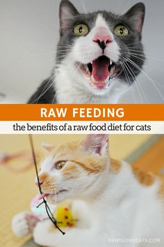 Cat Nutrition Diet Feeding your cat a raw food diet allows them to eat the way nature intended, it also results in improved digestion, more energy and other benefits Raw Food Recipes, Diet Recipes, Food Tips, Diet Tips, Cat Diet, Dry Cat Food, Dog Food, Raw Food Diet, Cat Feeding
