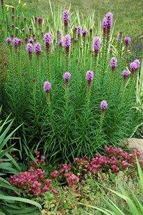 GardenAtoZ - Gayfeather Liatris species - Garden A to Z Colorado Landscaping, Modern Landscaping, Backyard Landscaping, Backyard Patio, Landscaping Ideas, Xeriscape Plants, Drought Tolerant Plants, Xeriscaping, Garden Bulbs
