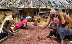 """""""Photo by @edkashi/@viiphoto: Nana Acheampong and some of his family process #cocoa on their farm in Bonsaaso, #Ghana on Oct. 3, 2015. In 2011 the…"""""""