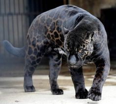 A black panther is typically a melanistic color variant of any of several species of larger cat. Wild black panthers in Latin America are black jaguars (Panthera onca), in Asia and Africa they are black leopards (Panthera pardus), and in North America they may be black jaguars or possibly black cougars (Puma concolor – although this has not been proven to have a black variant), or smaller cats.