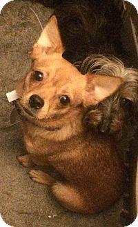 Oak Ridge, NJ - Pomeranian/Chihuahua Mix. Meet Bebe a Dog for Adoption.Came from a Hoarding case..