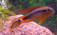 Täysikasvuinen loistokääpiöahven pari tummavetisessä akvaariossa.  Lämpötila 26 astetta ph 6,5.