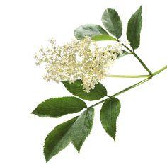 Elderflower and leaves