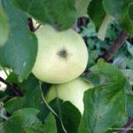 яблоня-осенью