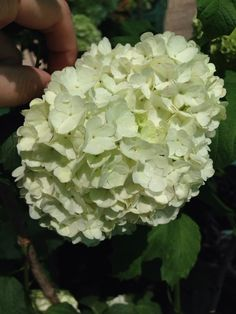 How do you prune a snowball viburnum bush?