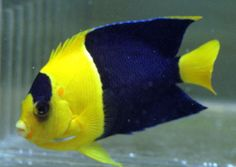 Clown Fairy Wrasse   Bicolor Angelfish 1.5-3 in. (Centropyge bicolor), Reef HotSpot