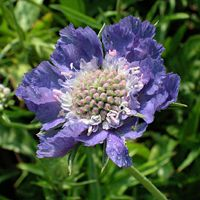 scabiosa~ such an unusual but beautiful flower...