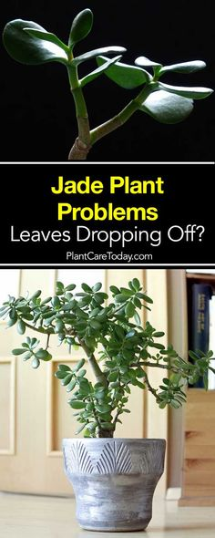 Jade plant dropping leaves? There are many reasons for this but which you are you experiencing? Learn the causes and how to fix the problem. [LEARN MORE]