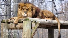 This park provides a glimpse of both wild & domesticated animals. Giraffes, monkeys, zebras, lions & many more animals can be viewed by trolley or by foot. Safari Niagara, Exotic Pets, Exotic Animals, Zebras, Giraffes, Toronto Zoo, Cat Species, Fish Ponds, Small Cat