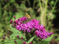 Ironweed - grows very tall but the color is such a deep purple it is perfect if planted in the right spot!