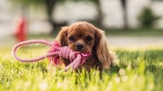 Why growls matter for people and dogs Cocker Spaniel, Puppy Care, Pet Care, Dog Walking Services, Dog Playpen, Dog Care Tips, Dog Barking, Cat Grooming, Dog Training Tips