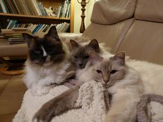 Our cats, Ragdoll Boogie and Holy Birmans Daisey (bluepoint) and Bijoux (lilac tabby point), twinsisters. Tomcat Boogie is already 16 years old. Daisey and Bijoux are 7 years old.