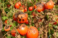 Nothing is more depressing than watching tomato plants wither away from tomato blight or blossom rot. See how to keep your tomato plants healthy this year! Pruning Tomato Plants, Tomato Fertilizer, Tomato Seedlings, Fall Vegetables, Planting Vegetables, Growing Vegetables, Vegetable Gardening, Veggie Gardens, Organic Gardening