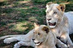 Photo by Trudi Oosthuizen - White Lionesses in Africa