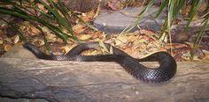 Red Bellied Black Snake, Australia