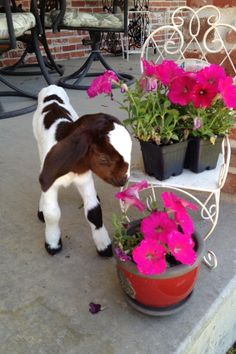 Baby Goats are so adorable Cute Baby Animals, Farm Animals, Animals And Pets, Animal Babies, Happy Animals, Cute Goats, Mini Goats, Boer Goats, Dwarf Goats