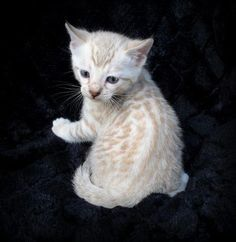 Six week old Snow Bengal kitten. asianfirebengals.com