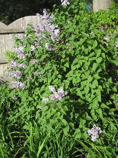 Lilac -  Full Bush - Lavender clusters of Flowers. Blooms in Spring . Grows 12 to 15 ft and 10 to 12 ft wide. Does well in Full Sun to Partial Shade. Soil should be well drained. I have this as a focal point in the far corner of the yard so you can see in no matter which way you enter.