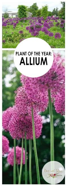 Plant of The Year: Allium| Garden Ideas, Gardening, Garden, Gardening for Beginners, Gardening Ideas, Gardening Tips #GardenIDeas #GardeningIdeas #GardeningforBeginners