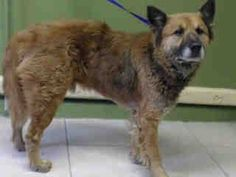 #A4783410 I'm an approximately 4 years, 6 month old male germ shepherd. I am not yet neutered. I have been at the Carson Animal Care Center since December 10, 2014. I will be available on December 31, 2014. You can visit me at my temporary home at C238.    Carson Shelter, Gardena, California https://www.facebook.com/171850219654287/photos/pb.171850219654287.-2207520000.1418340571./343360089169965/?type=3&theater