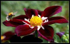 Beautiful dahlias! on Flickr.