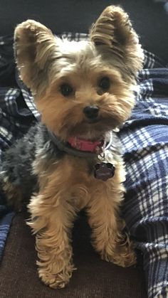 Discover The Tenacious Yorkshire Terrier Pup Health Toy Yorkshire Terrier, Yorkshire Terrier Haircut, Cute Puppies, Cute Dogs, Yorkie Haircuts, Dog Hairstyles, Yorkie Poo Haircut, Yorkie Cuts, Yorshire Terrier