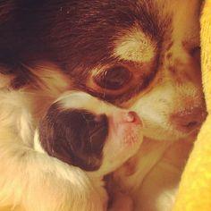 Love  Nina and little Smeg chihuahua 07/04/2012