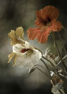 nasturtium flowers, spicy and delicious Art Floral, Art Et Nature, Earth Tones, Belle Photo, Mother Nature, Flower Art, Art Flowers, Planting Flowers, Beautiful Flowers