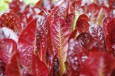 Red Leaf Lettuce at Harbour House Hotel on Salt Spring Island