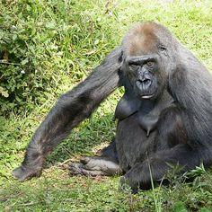 Gorilla... a very human look ! ... 37 (c)(t) by Olao-Olavia par Okaio Créations fz 1000
