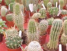 Quiero mis cactus